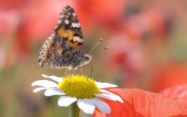 Animal Butterfly Insect Flower Red HD Wallpaper   Background Image