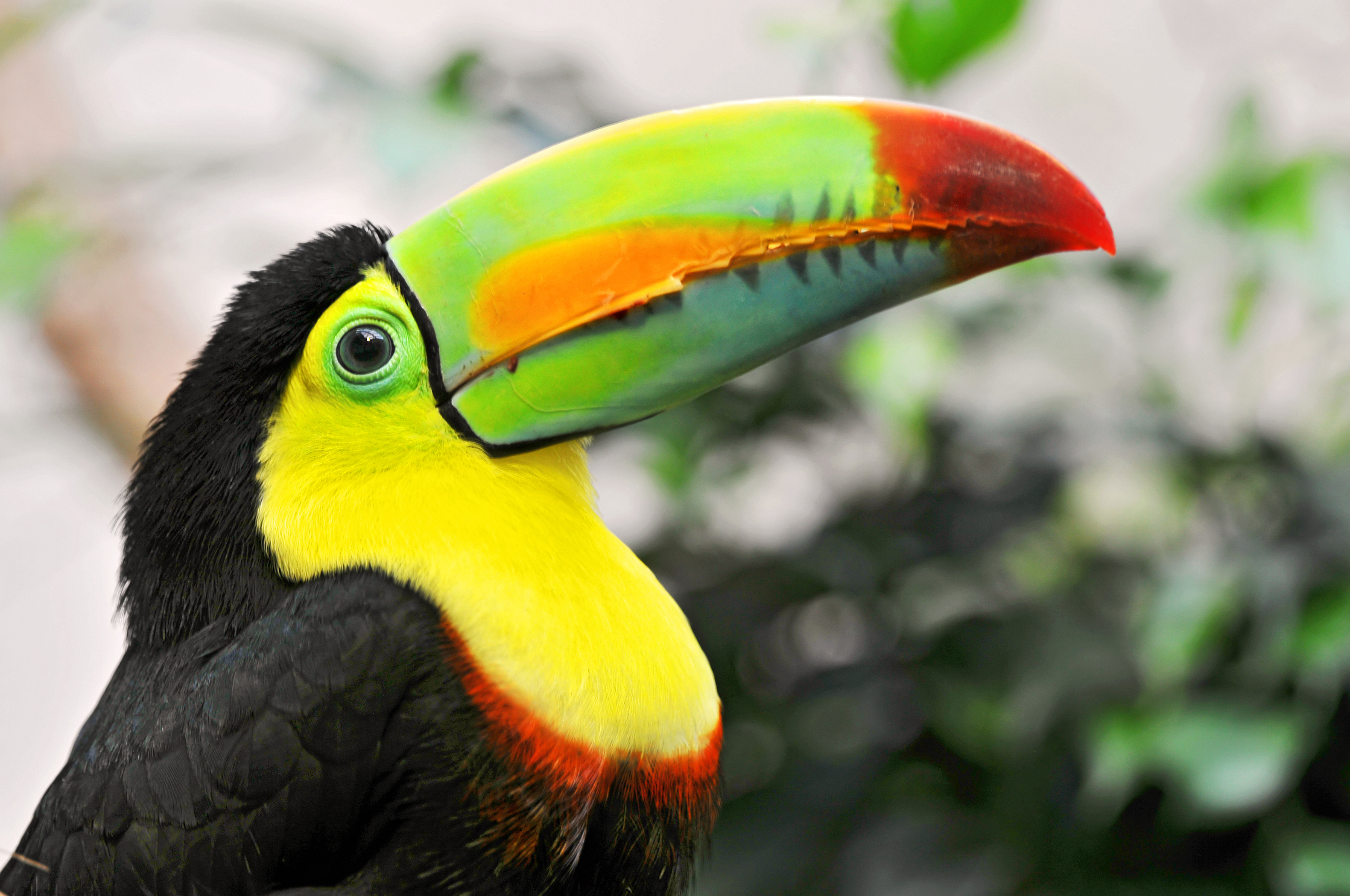 Toucan full hd wallpaper and background image 3162x2100 for Oiseau long bec