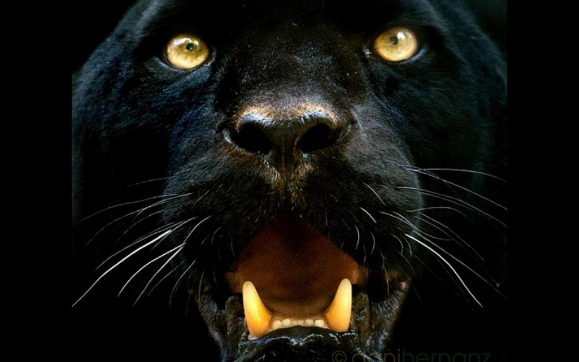 animal black panther wallpaper