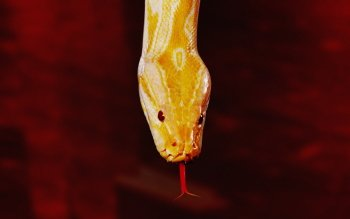 Animal - Snake Wallpapers and Backgrounds ID : 347082