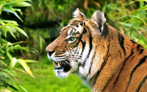 Animal Tiger Cats HD Wallpaper   Background Image