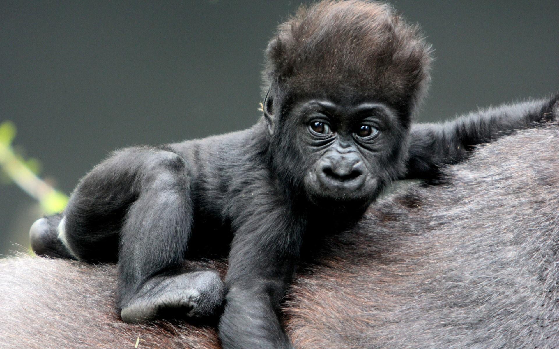 gorilla pc spiele