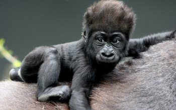 Animal - Gorilla Wallpapers and Backgrounds ID : 348159