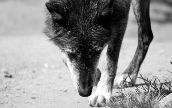 Animal - Wolf Wallpapers and Backgrounds ID : 348443