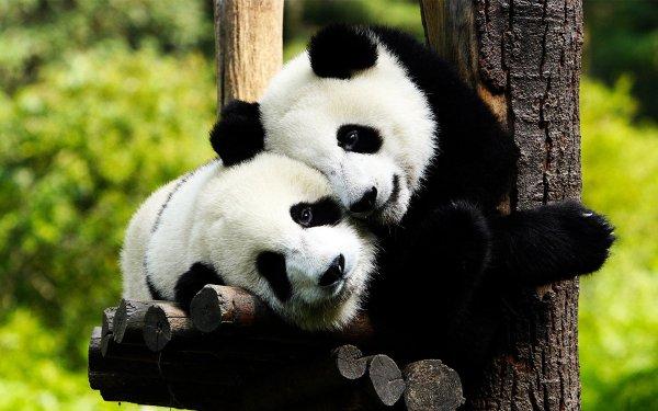 Animal Panda Bear HD Wallpaper | Background Image