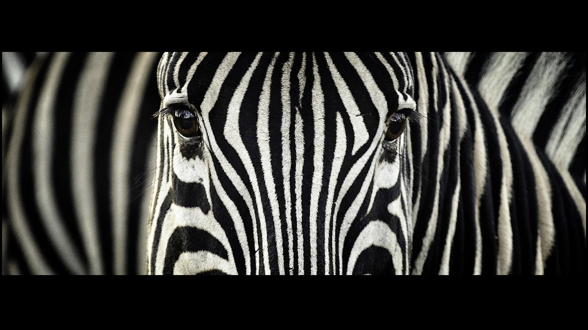 Zebra Computer Wallpapers Desktop Backgrounds 1920x1080