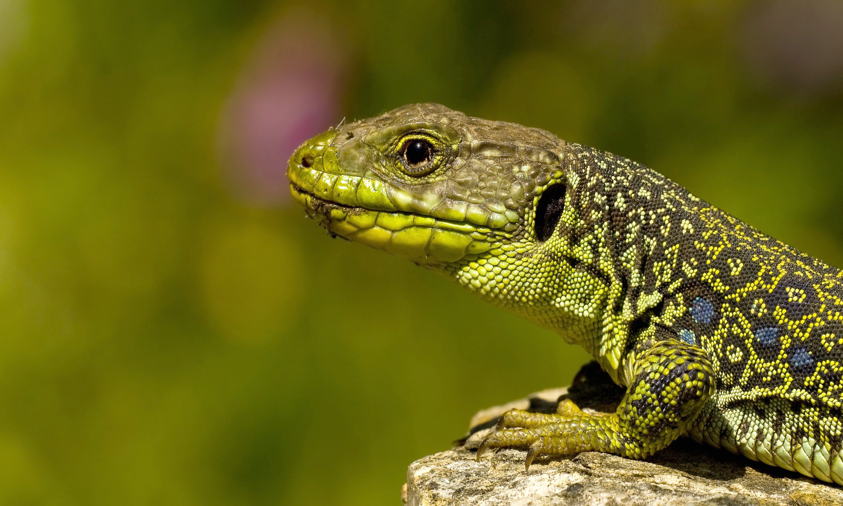 Lizard Full HD Wallpaper and Background 2951x1771 ID349634