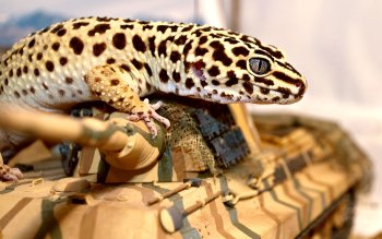 Animal - Gecko Wallpapers and Backgrounds ID : 349291