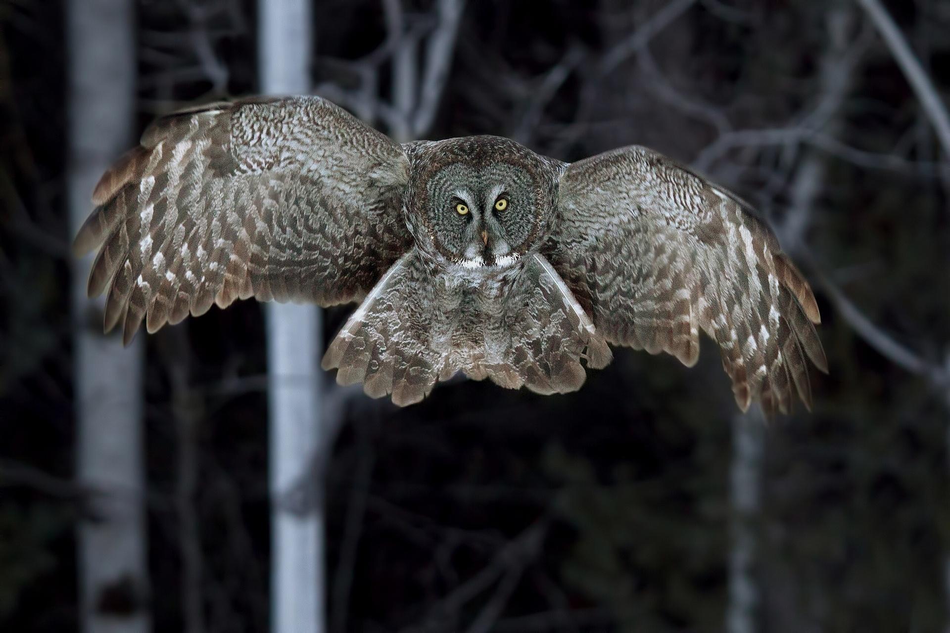 Great Grey Owl Wallpap...