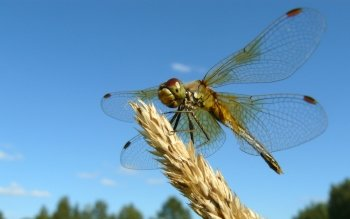 Animal - Dragonfly Wallpapers and Backgrounds ID : 350465