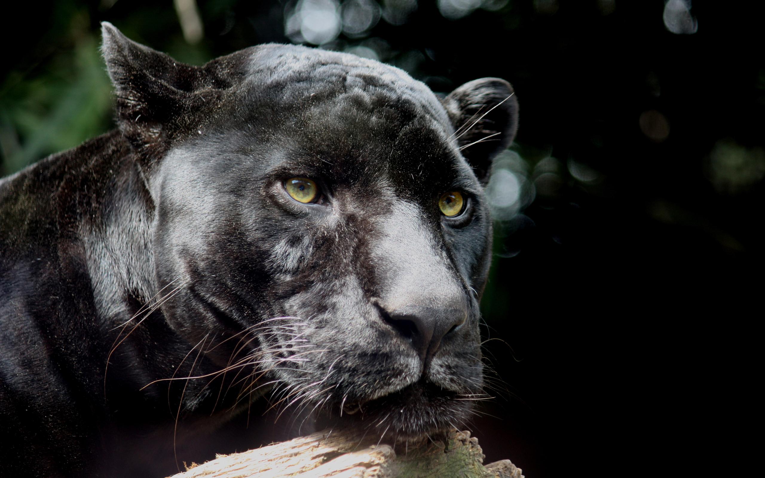 Black Panther HD Wallpaper | Background Image | 2560x1600 ...