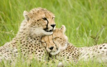 Animalia - Cheetah Wallpapers and Backgrounds ID : 351436