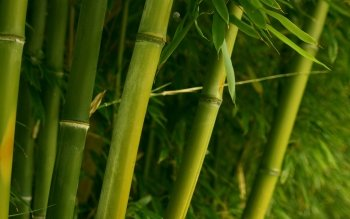 Tierra - Bamboo Wallpapers and Backgrounds ID : 351502