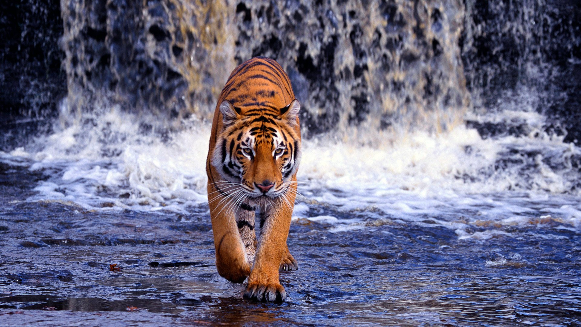 Tiger Hd Wallpaper Background Image 1920x1080 Id 352939