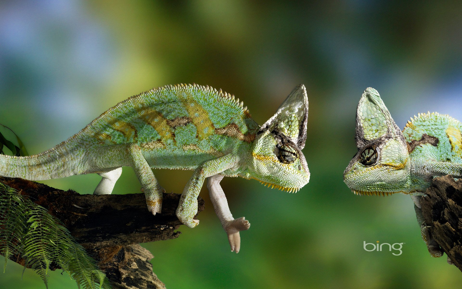 chameleon wallpaper 1920x1200 - photo #19