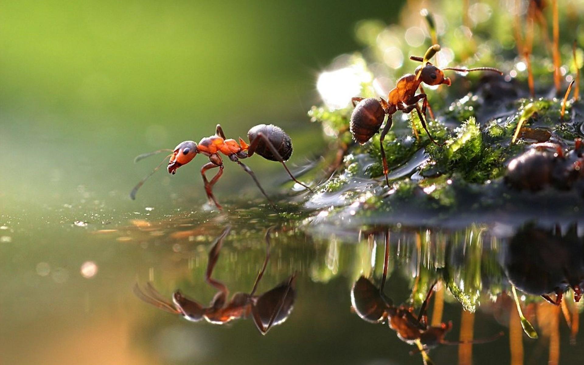 1920x1200 Animal Ant  Ant