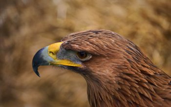 Animal - Eagle Wallpapers and Backgrounds ID : 353051