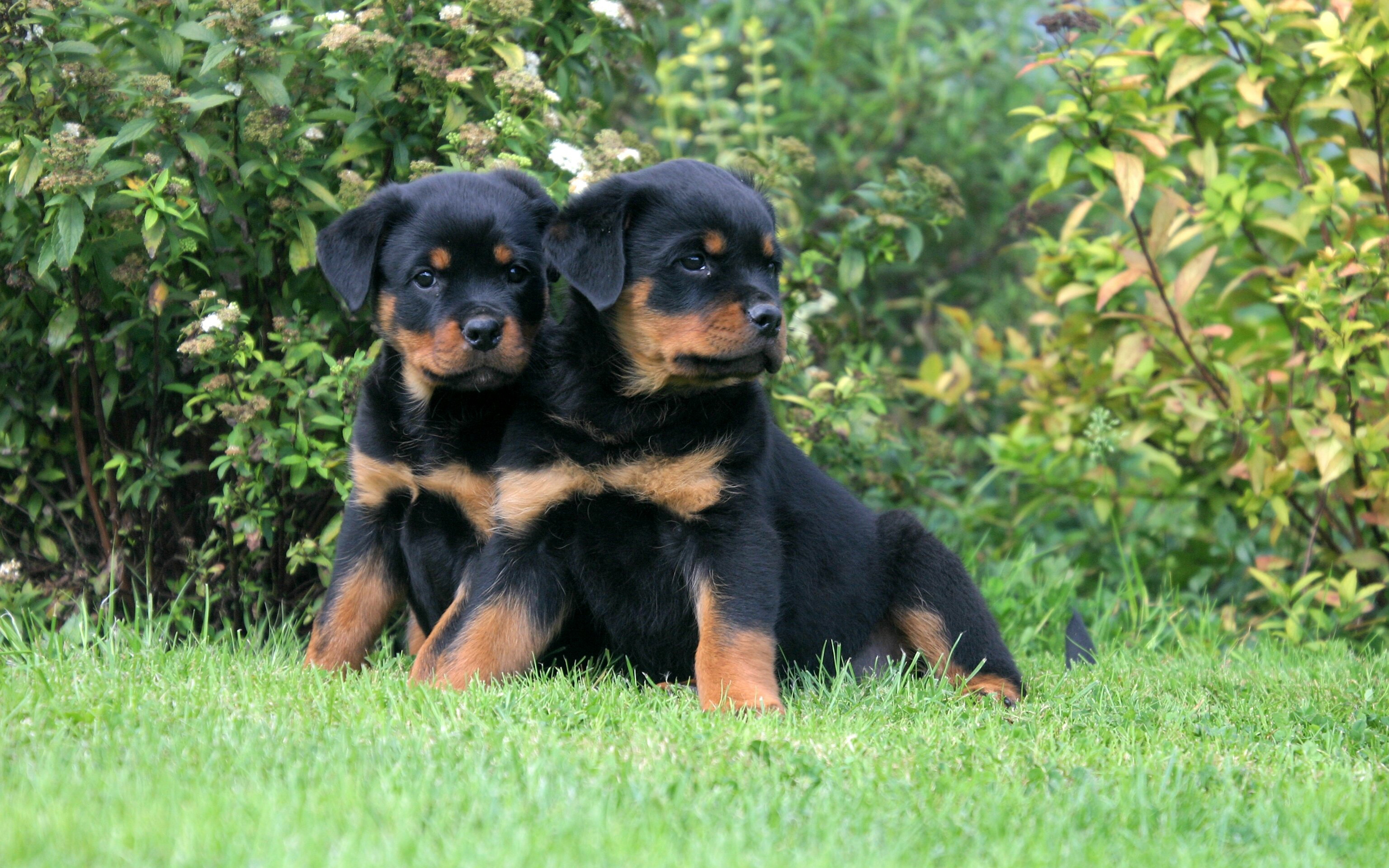Rottweiler Full HD Wallpaper and Background | 2560x1600 ...