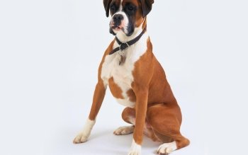 Animal - Boxer Wallpapers and Backgrounds ID : 355644