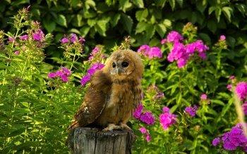 Animalia - Owl Wallpapers and Backgrounds ID : 356208