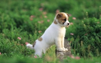 Animal - Puppy Wallpapers and Backgrounds ID : 356445