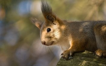 Animal - Squirrel Wallpapers and Backgrounds ID : 358447