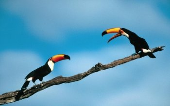 Djur - Toucan Wallpapers and Backgrounds ID : 358883