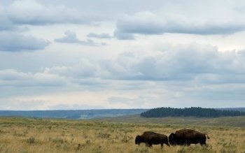 Animal - Buffalo Wallpapers and Backgrounds ID : 359419