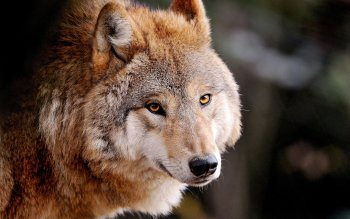 Animal - Wolf Wallpapers and Backgrounds ID : 359421