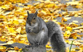 Animal - Squirrel Wallpapers and Backgrounds ID : 359906
