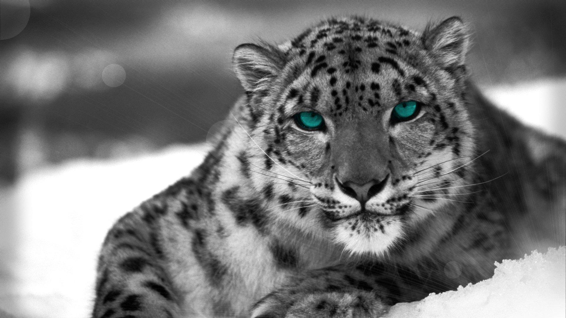 Leopard Des Neiges Fond D Ecran Hd Arriere Plan 1920x1080 Id