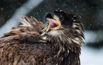 Animal - Eagle Wallpapers and Backgrounds ID : 360065