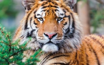 Animal - Tiger Wallpapers and Backgrounds ID : 360659