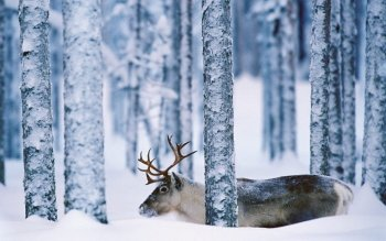 Animal - Deer Wallpapers and Backgrounds ID : 360893