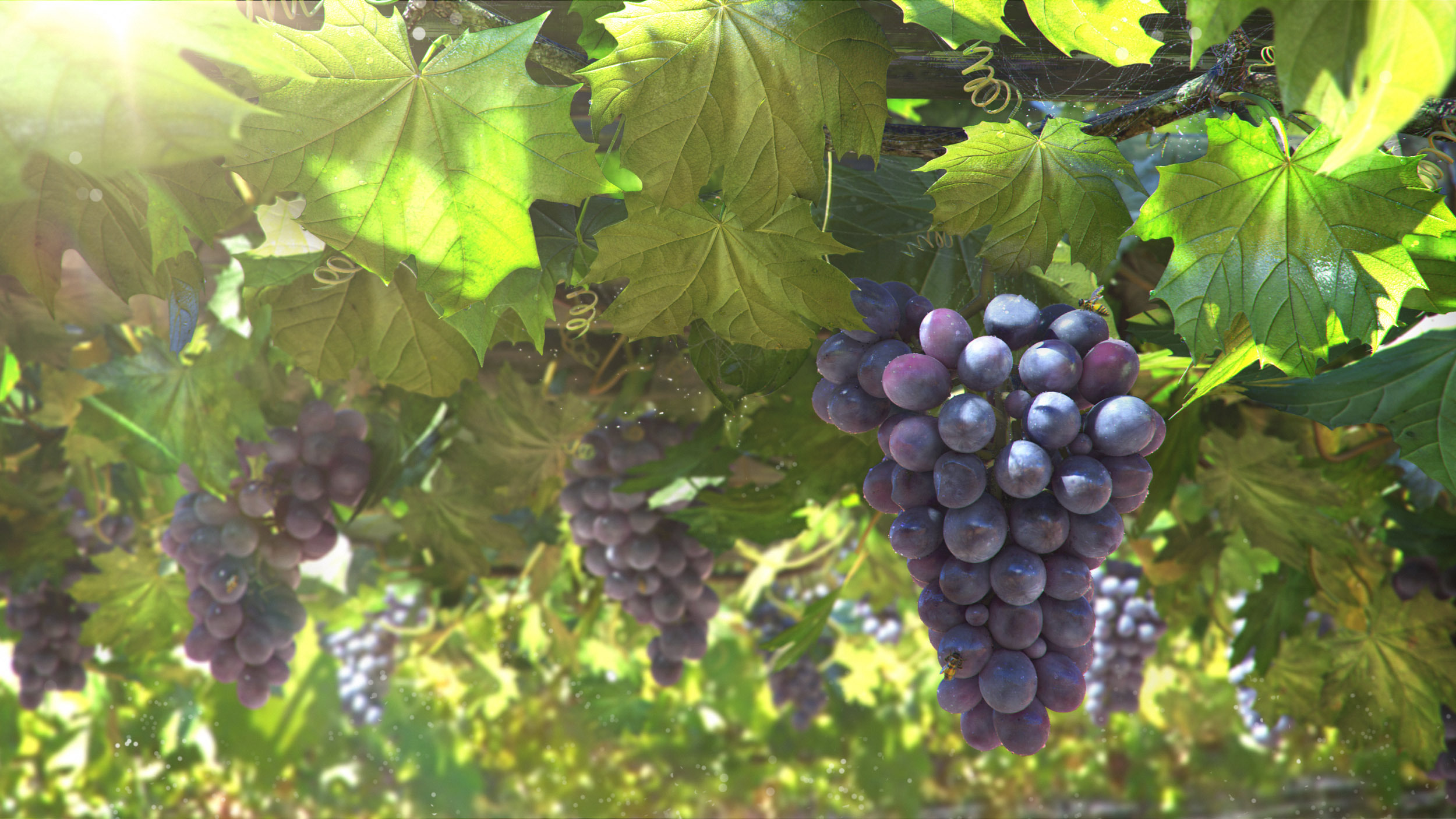 Grapes Full HD Wallpaper and Background Image | 2500x1406 ...