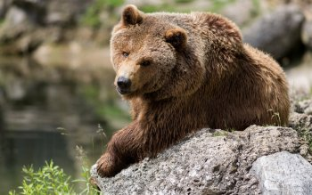 Animal - Bear Wallpapers and Backgrounds ID : 362629