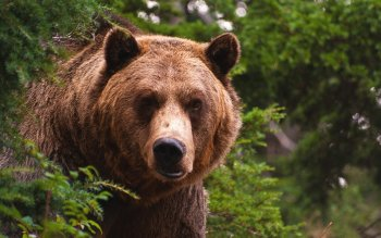 Animal - Bear Wallpapers and Backgrounds ID : 362679