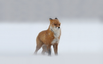 Animal - Fox Wallpapers and Backgrounds ID : 362808