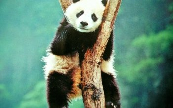 Animal - Panda Wallpapers and Backgrounds ID : 363020