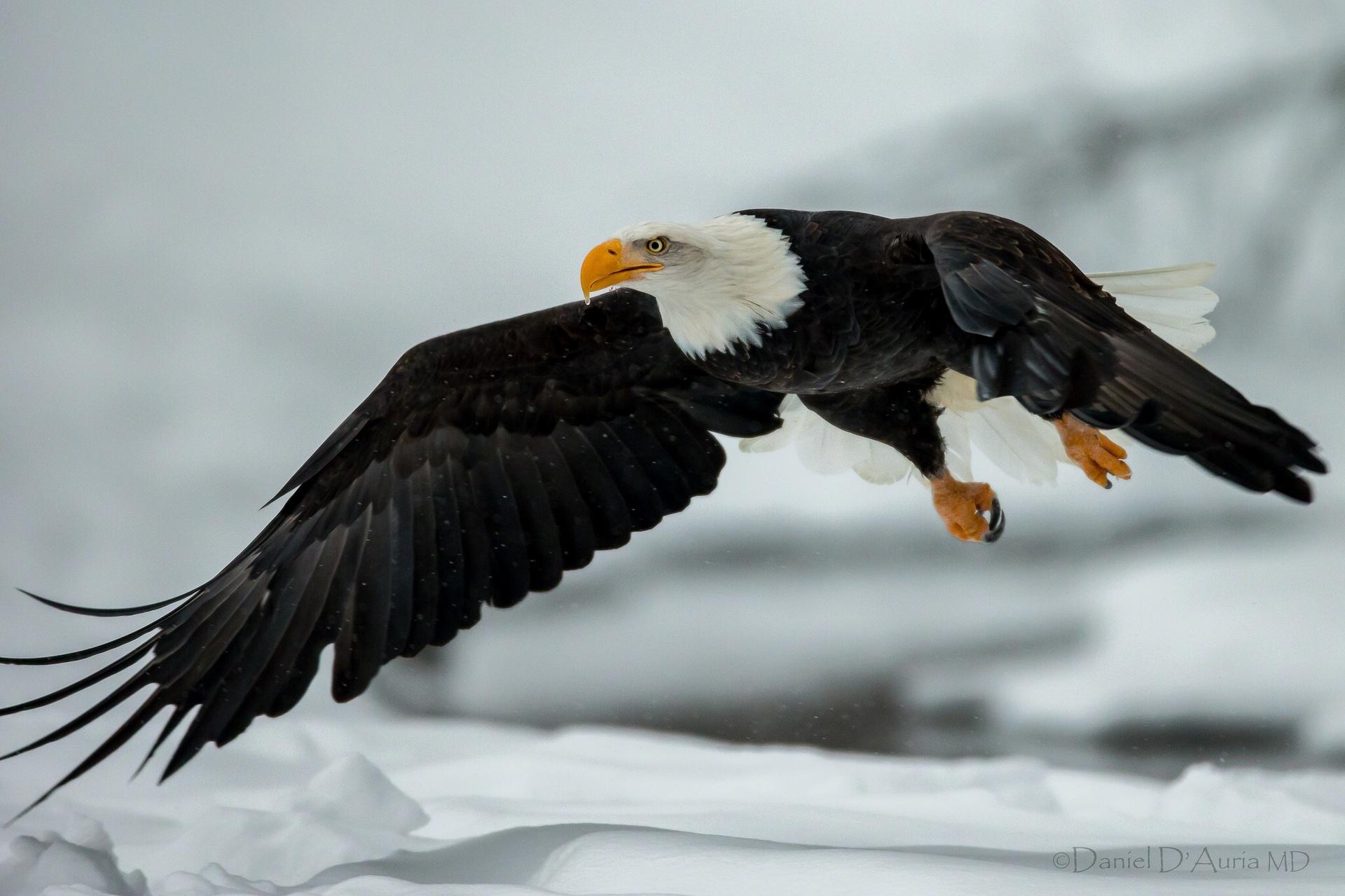bald eagle wallpaper for ipad