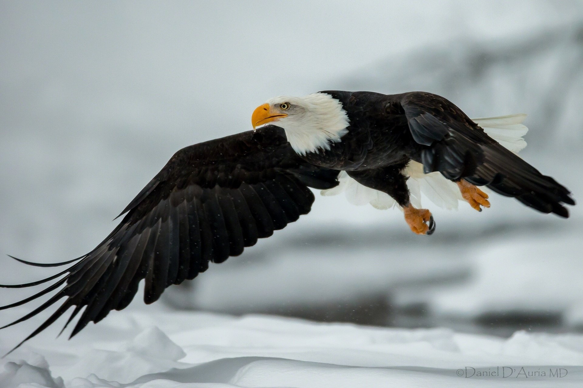 Bald Eagle Full HD Wallpaper and Background | 1920x1279 ...