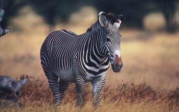Animal - Zebra Wallpapers and Backgrounds ID : 364046