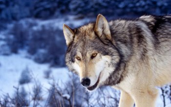 Animal - Wolf Wallpapers and Backgrounds ID : 364894