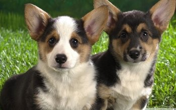 Animal - Corgi  Wallpapers and Backgrounds