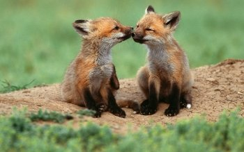 Animal - Fox Wallpapers and Backgrounds ID : 365461