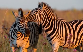 Animalia - Zebra Wallpapers and Backgrounds ID : 366812