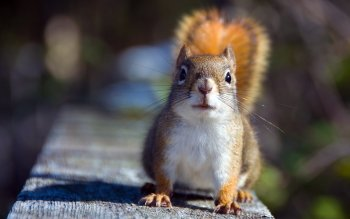 Animal - Squirrel Wallpapers and Backgrounds ID : 366997