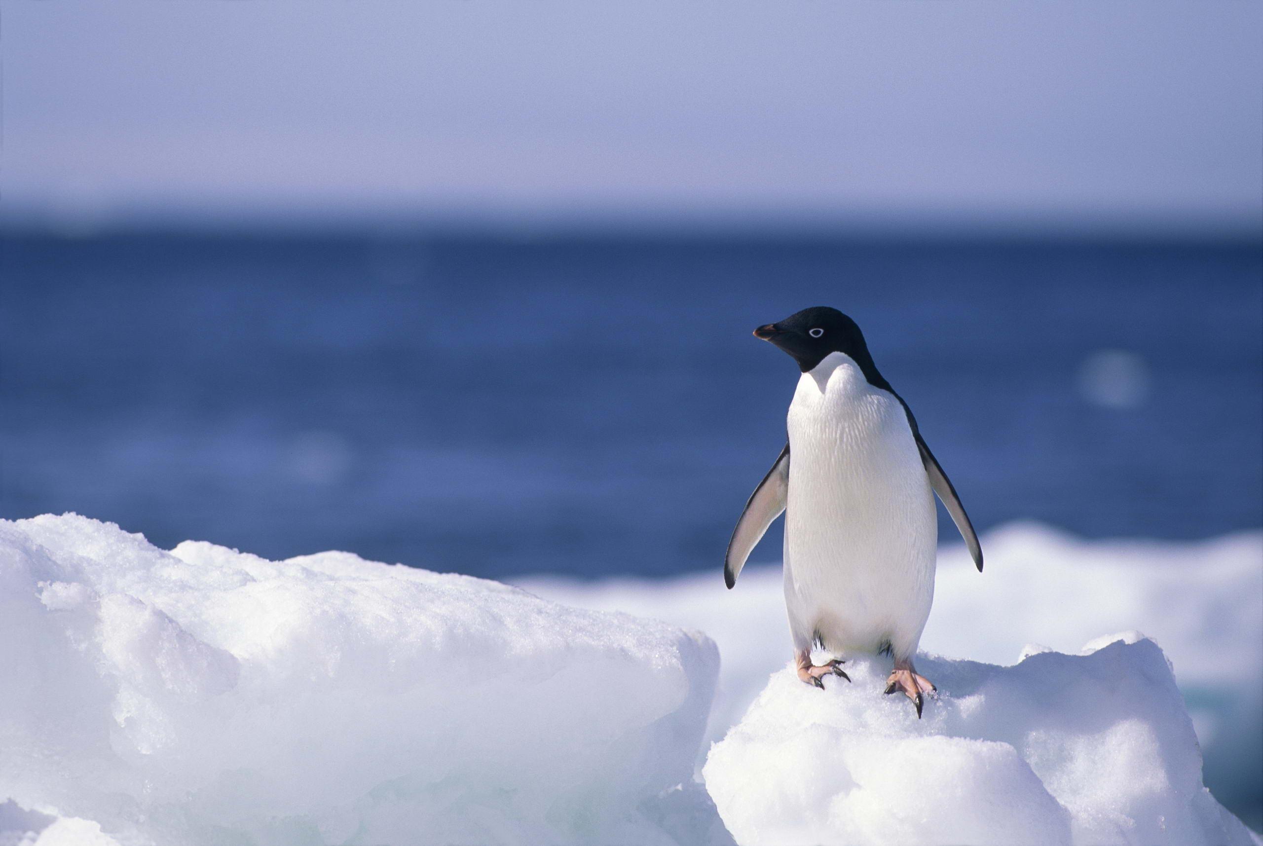 penguin wallpaper wallpapers - photo #40