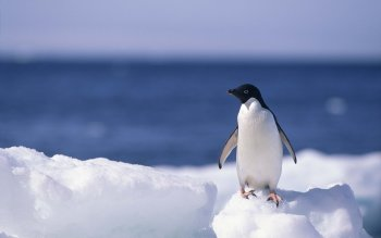 Animalia - Pingüino Wallpapers and Backgrounds ID : 367222