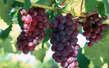 220 Grapes HD Wallpapers | Background Images - Wallpaper Abyss